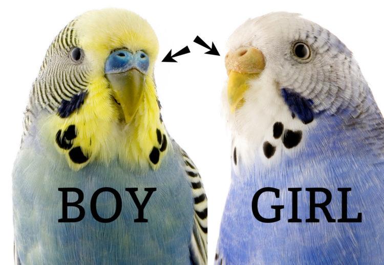 Budgie-boy-and-girl-750x518.jpg